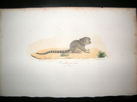 Saint Hilaire & Cuvier C1830 Folio Hand Colored Print. Female Marmoset Monkey